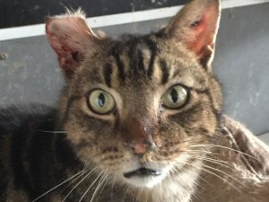 Chronic URI in a cat from an institutional hoarder